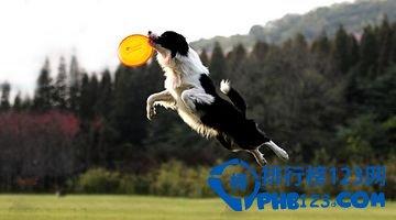 狗狗智商排名 世界上最聪明的狗排名top10