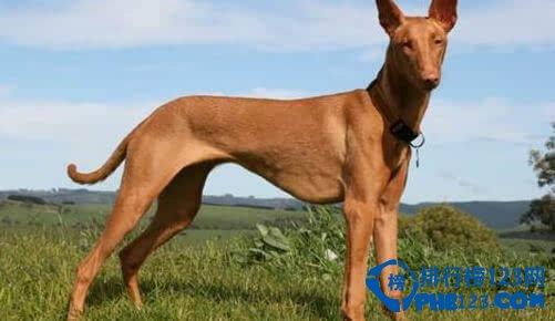 世界上最贵的狗的品种排名
