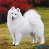 世界最具气质的十大名犬