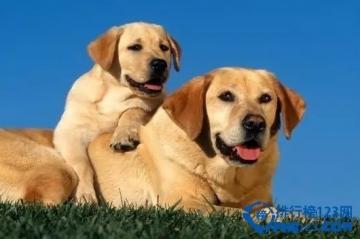 世界十大聪明犬排行榜 聪明狗狗排行