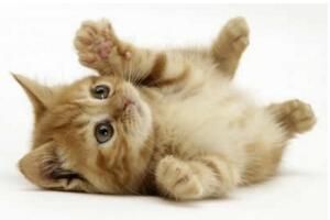 什么猫最粘人?排名前20的粘人猫排行榜