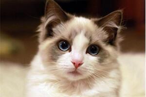世界上最温顺的猫,乖巧亲人的布偶猫【组图】