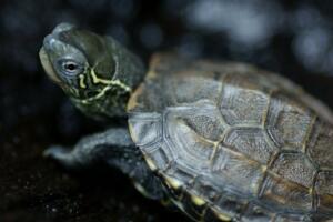 【组图】世界上最温顺的龟:中华草龟(胆小温和)