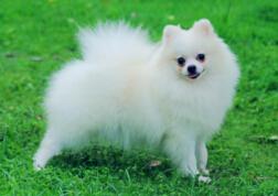 世界上最可爱的犬类排行榜,短腿博美简直萌化了