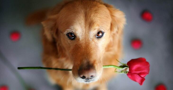 狗狗智商排名,79只最聪明的狗狗排名大全(泰迪第二)