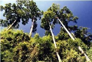 地球上最高的树:澳洲杏仁香桉树高156米(相当于52层楼)