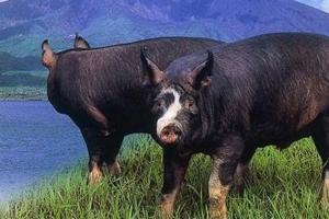 世界十大最贵的猪排行榜,第一价格超半亿仅一半