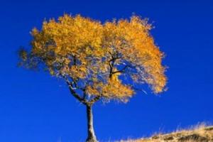 盘点世界十大神奇的树:第六杀人,第一产黄金!