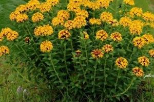野外十大常见有毒植物,第1断肠草吃了可断肠