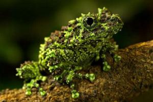 世界上最怪异的十种青蛙排行榜,玻璃蛙竟可以看到内脏(全身透明)