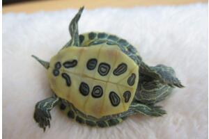 巴西龟寿命,活不过35岁(附延长巴西龟寿命办法)