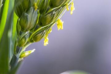 世界上寿命最短的花:小麦花,开花时间只有五分钟