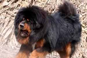 世界上最凶猛的犬种排名