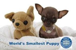 世界上最小的狗:仅有9.65厘米
