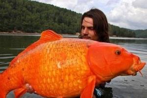 世界上最大的金鱼,重13.61公斤