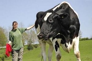 世界上最高的奶牛:身高一米九五体重