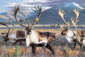世界上最大的鹿种:驼鹿