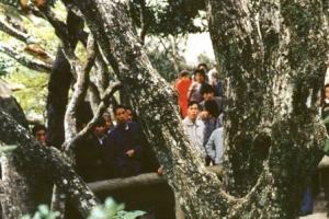世界上最稀有的树 地球仅有一棵