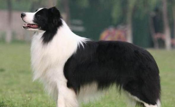 什么狗狗最聪明?狗的智商排名大全(附图片)