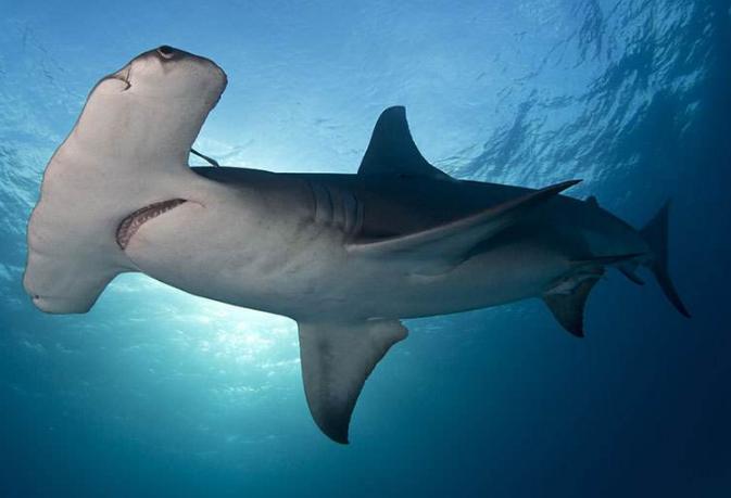 世界最大的鲨鱼排行榜 鲸鲨位列第一,体型重达21.5吨
